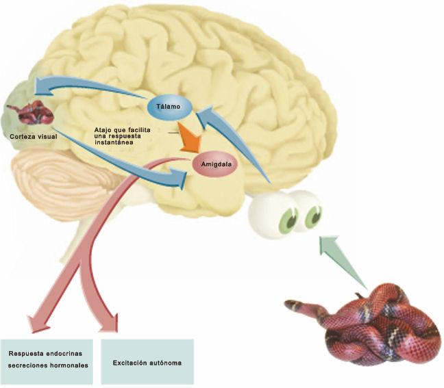 cerebro via rapida via lenta procesamiento del miedo • Neurita | Blog de Psicología